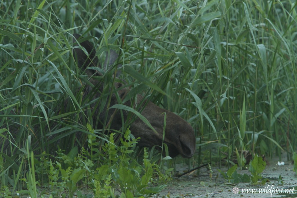 Moose surprised on the Biebrza River