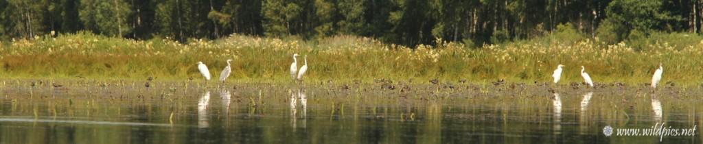 Grandes aigrettes, hérons cendrés et vanneaux huppés dans un champ inondé