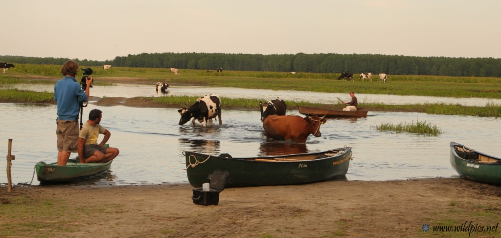 The cows and the farmer in boat